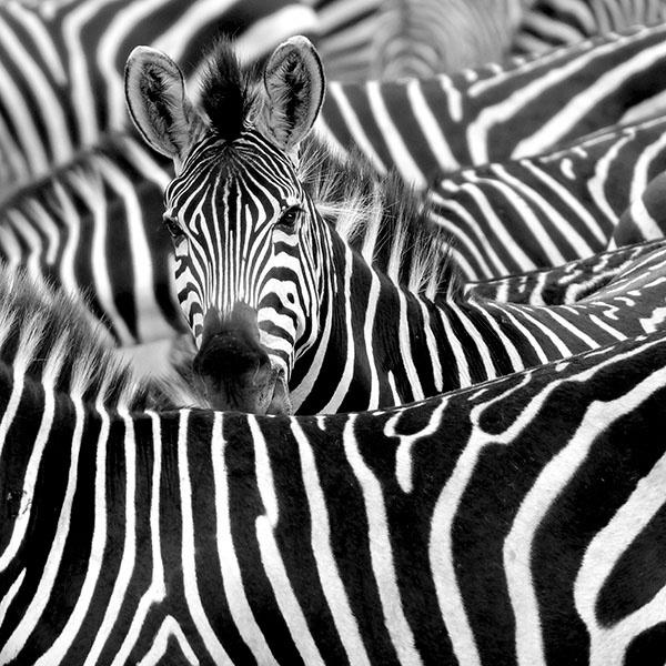 http://www.koloknet.hu/files/14/zebra.jpg